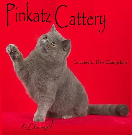 Pinkatz Cattery  Home of Quality Persians and Exotics